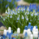 Kuvassa on sinisiä, vaaleansinisiä sekä valkoisia helmililjoja.