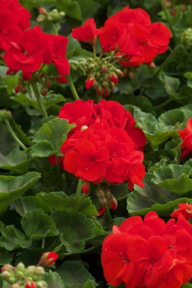 KUvassa on punaisia pelargoneita kasvihuoneessa.