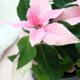 Kuvassa on vaaleanpunainen princettia.
