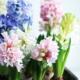 Kuvassa on valkoisia, vaaleanpunaisia ja sinisiä hyasintteja