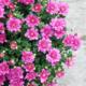Kuvassa on pinkki pallokrysanteemi.