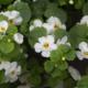 Kuvassa valkosia lumihiutaleen kukkia.