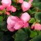 Kuvassa vaaleanpunaisia begonioita.