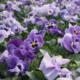 Kuvassa on eri sävyisiä liloja orvokkeja.