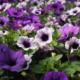 Kuvassa on erisävyisiä liloja petunioita