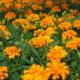 Kuvassa on paljon oransseja ryhmäsamettikukkia.