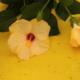 Kuvassa on keltaisia kiinanruusun kukkia keltaista taustaa vasten.