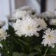 Kuvassa on valkoisen krysanteemin kukintoja.