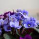 Kuvassa on sinisen paavalinkukan kukintoja.