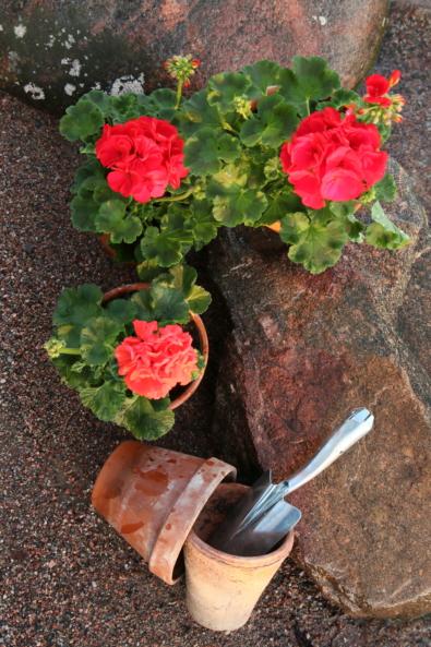 Kuvassa on rannalla kolme punaista pelargonia. Pelargonien vieressä on iso kivi ja saviruukkuja.