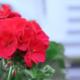 Kuvassa on punainen pelargonin kukinto.