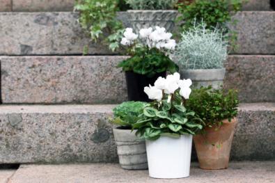 Kuvassa on portailla valkoisia ja vihreitä syyskasveja erilaisissa ruukuissa.