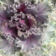 Kuvassa on liila-vihreä koristekaali.
