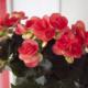 Kuvassa on pinkki ruusubegonia