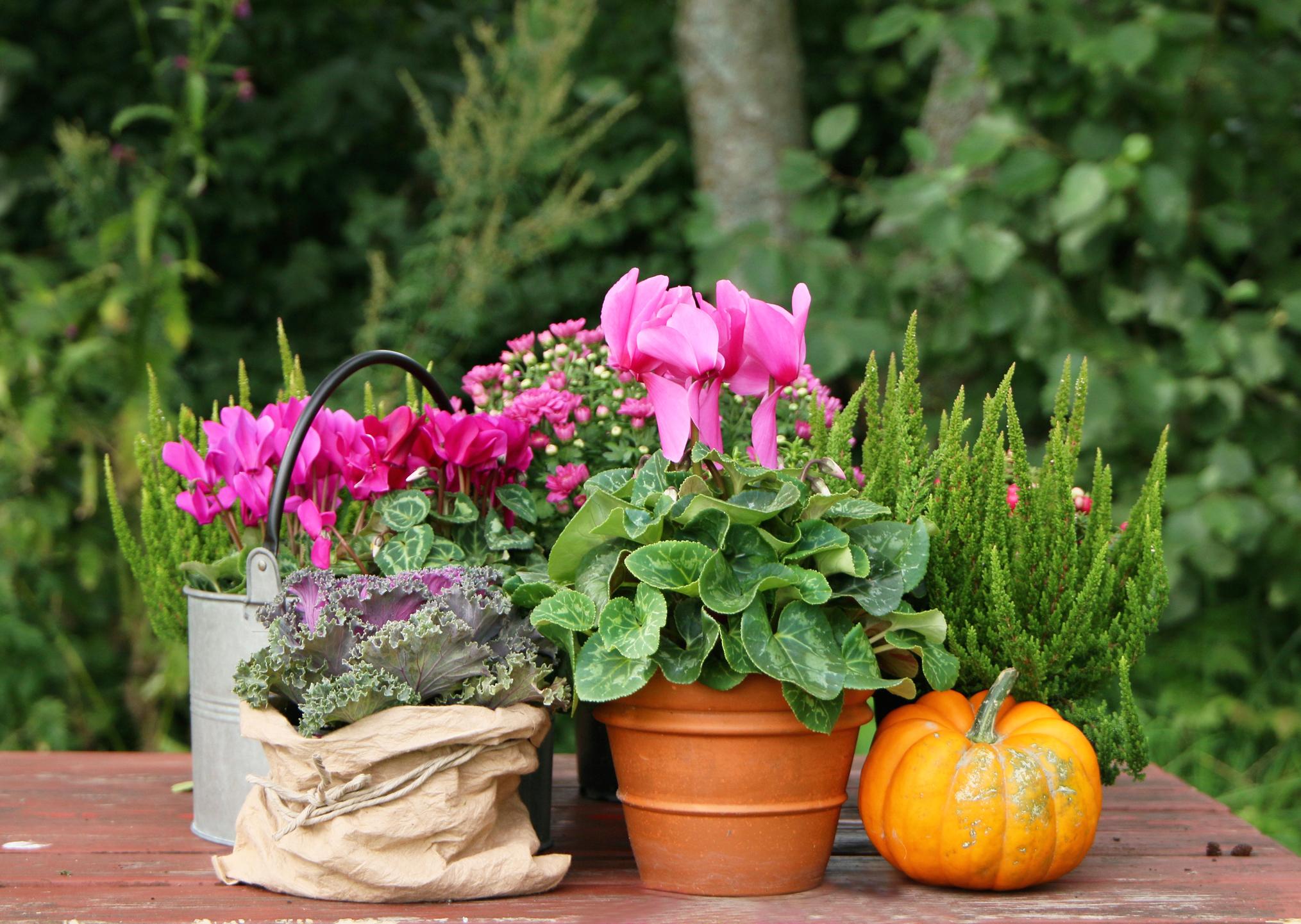 Kuvassa pöydällä on vaaleanpunaisia syyskukkia erilaisissa ruukuissa.